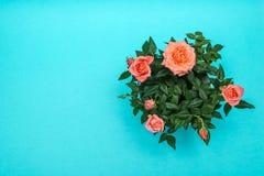 Piękna menchii róża na cian tle Zdjęcie Royalty Free