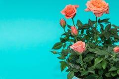 Piękna menchii róża na cian tle Zdjęcia Royalty Free