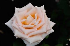 Piękna menchii róża na czarnym tle Zdjęcia Royalty Free
