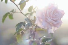 Piękna menchii róża w ogródzie Obraz Royalty Free