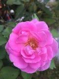Piękna menchii róża w ogródzie Obrazy Royalty Free