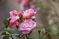 Piękna menchii róża w ogródzie w zakończeniu up Zdjęcie Stock