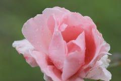 Piękna menchii róża w ogródzie z raindrops Obrazy Stock