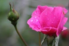 Piękna menchii róża w ogródzie z raindrops Fotografia Royalty Free