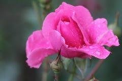 Piękna menchii róża w ogródzie z raindrops Fotografia Stock
