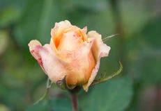 Piękna menchii róża w ogrodowym zakończeniu Zdjęcia Stock