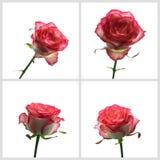 Piękna menchii róża z liśćmi odizolowywającymi na bielu Set Fotografia Royalty Free
