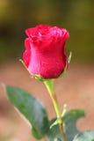 Piękna menchii róża z rosa kroplami ja zdjęcia stock