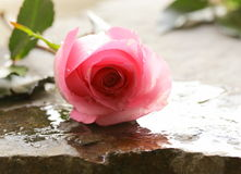 Piękna menchii róża z wodnymi kroplami Obraz Royalty Free