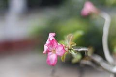 Piękna miękkich części menchii orchidea Fotografia Stock