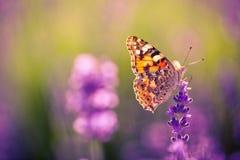 Piękna motylia lato łąka kwitnie, kolorowy lawenda krajobraz Zdjęcie Stock