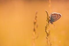 Piękna motylia lato łąka kwitnie, kolorowy lawenda krajobraz Obrazy Royalty Free