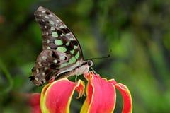 Piękna motylia Ogoniasta sójka, Graphium agamemnon, siedzący na czerwieni i żółtym kwiacie Obrazy Royalty Free