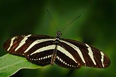 Piękna motylia zebra Longwing, Heliconius charitonius Motyl w natury siedlisku Ładny insekt od Costa Rica Motyl wewnątrz Zdjęcia Stock