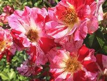 Piękna naturalna czerwieni róża w ogródzie zdjęcie stock
