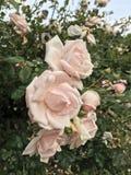 Piękna naturalna menchii róża w ogródzie fotografia royalty free