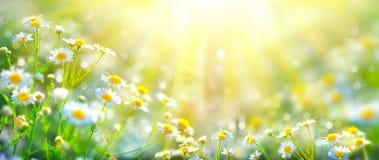 Piękna natury scena z kwitnącymi chamomiles fotografia stock