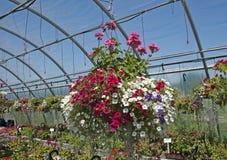 Piękna obwieszenie roślina w szklarni Obrazy Royalty Free