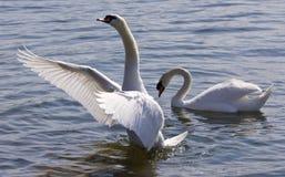 Piękna odosobniona fotografia łabędź pokazuje jego uskrzydla w jeziorze obrazy royalty free