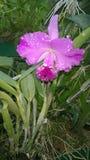 Piękna orchidea kwitnie sri lankę 01 Obrazy Royalty Free