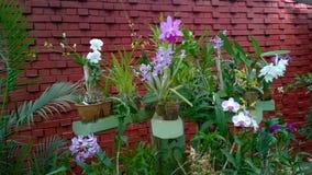 Piękna orchidea kwitnie sri lankę 01 Obraz Royalty Free
