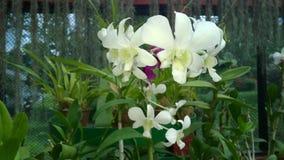 Piękna orchidea kwitnie sri lankę 01 Zdjęcia Royalty Free