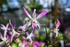 Piękna orchidea w rośliny pepinierze Zdjęcia Stock