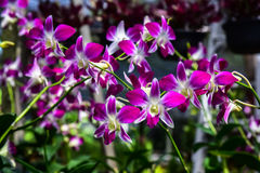 Piękna orchidea w rośliny pepinierze Fotografia Royalty Free