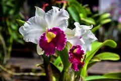 Piękna orchidea w rośliny pepinierze Zdjęcie Royalty Free