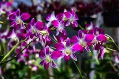 Piękna orchidea w rośliny pepinierze Fotografia Stock