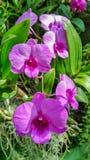 Piękna orchidea wymieniał Dendrobium rodziny wśród kwiatu ogródu obraz stock