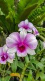 Piękna orchidea wymieniał Dendrobium rodziny wśród kwiatu ogródu zdjęcie royalty free