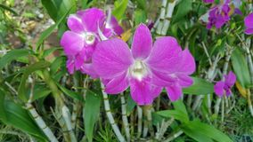 Piękna orchidea wymieniał Dendrobium rodziny wśród kwiatu ogródu zdjęcie stock