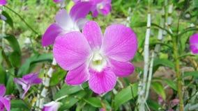 Piękna orchidea wymieniał Dendrobium rodziny wśród kwiatu ogródu obrazy stock
