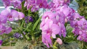 Piękna orchidea wymieniał Dendrobium rodziny wśród kwiatu ogródu obraz royalty free