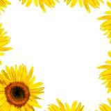 piękna płatka słonecznik Fotografia Stock