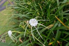 Piękna pająk leluja, Hymenocallis littoralis zdjęcia royalty free