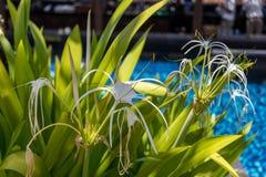 Piękna pająk leluja, Hymenocallis littoralis obrazy royalty free