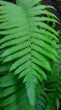 Piękna Paprociowa roślina Obraz Royalty Free