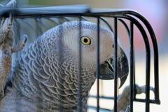 Piękna papuga w klatce fotografia stock