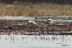 Piękna para biali łabędź pływa w jeziorze, częsciowo zakrywającym z lodem na słonecznym dniu w wiośnie obraz royalty free