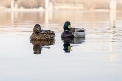 Piękna para kaczka i kaczor żeglujemy na rzece Zdjęcie Royalty Free