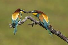 Piękna para kolorowi Europejscy zjadacze, Merops apiaster w koperczaki, obrazy stock