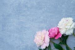 Piękna peonia kwiatów granica na szarym tle Odbitkowa przestrzeń, t Zdjęcie Royalty Free