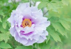 Piękna peonia w naturze zdjęcia royalty free