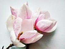 Piękna pierwszy wiosna kwiatu magnolia zamknięta w górę obrazy stock