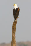 Piękna pionowo fotografia Afrykański Rybi Eagle Fotografia Stock