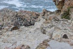 Piękna plaża w Hermanus siedzi na skale w Południowa Afryka z dwa ślicznymi dassies Obrazy Royalty Free