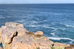 Piękna plaża w Hermanus siedzi na skale w Południowa Afryka z dwa ślicznymi dassies Zdjęcie Royalty Free