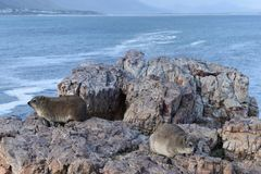 Piękna plaża w Hermanus siedzi na skale w Południowa Afryka z dwa ślicznymi dassies Obraz Stock